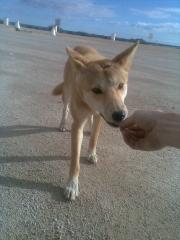 feeding a dingo.jpg